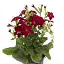 Nicotiana Red