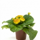 Calceolaria Yellow
