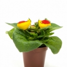 Calceolaria Red / Yellow