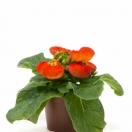 Calceolaria Bronze